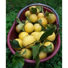 Finalborgo lemons (Western Ligurian Riviera), 3kg