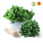 Basil Genovese DOP - 6 bunches