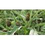 Sulcis artichokes spiced in olive oil, 280 gr - Bon'Ora