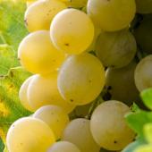 Vins blancs italiens