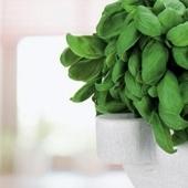 Für das Pesto: Basilikum, Pinienkerne, Mörtel