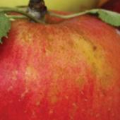 Vinaigre des pommes