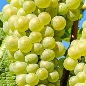 Aceto di uva
